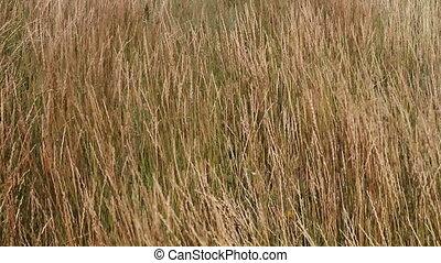 prairie, 06, vent, herbe