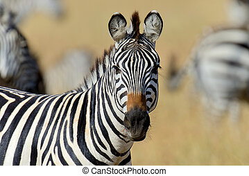 prairie, afrique, zebra