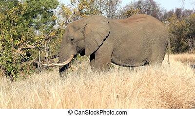 prairie, brouter, éléphant africain