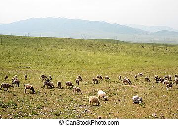 prairie, chèvres