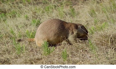 Prairie Dog - A prairie dog eating grass at Devils Tower...