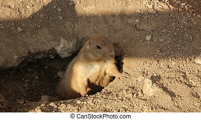 Prairie Dog Adult Alert at Burrow E - Black-Tailed Prairie...