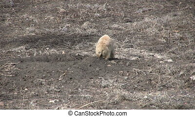 Prairie Dog at Burrow - a prairie dog at its burrow