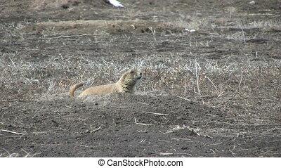 Prairie Dog at its Burrow - a prairie dog on its burrow on...