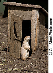 Prairie Dog at the Outhouse - This prairie dog is getting a...