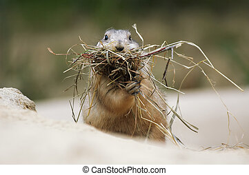 Prairie Dog - cute prairie dog