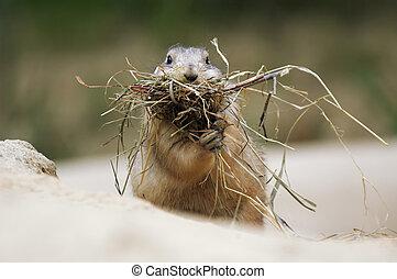 Prairie Dog - cute prairie dog