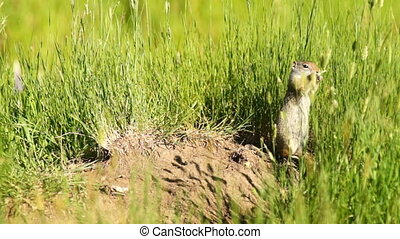 Prairie Dog Eating Grass Tetons National Elk Refuge Jackson...