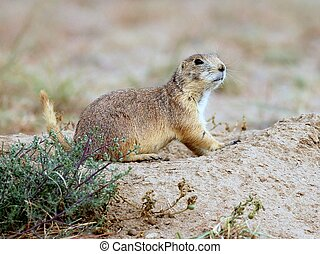 Prairie Dog in Colorado