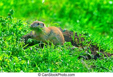 prairie dog on field in summer eating grass
