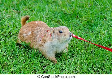 Prairie dog on lawn in summer