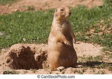 """Prairie Dog Sentinel"" - Close-up photo of a praire dog..."