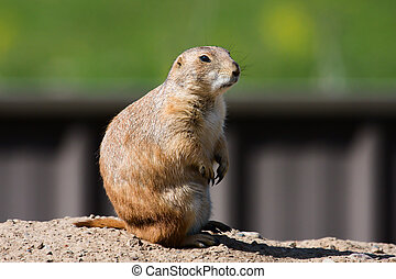 Prairie Dog Sitting