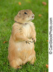 Prairie Dog standing in Green Grass