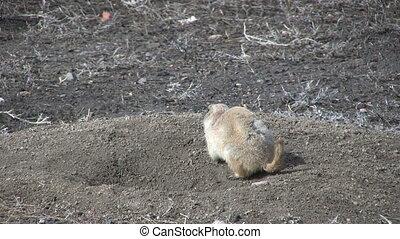 Prairie Dog - a prairie dog on its burrow on the grassland