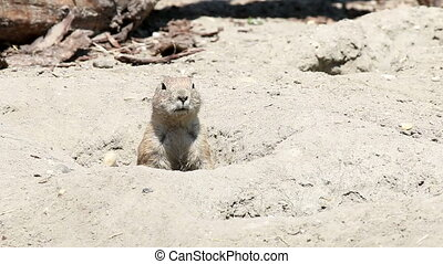 prairie dog watching from hole wildlife