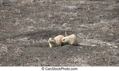Prairie Dogs - a pair of prairie dogs outside their burrow