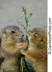 Prairie Dogs - Prairie dogs eating plants happily