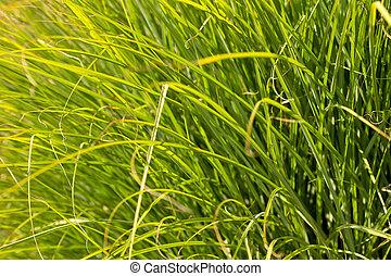 Prairi Dropseed Ornamental Grass Closeup Background
