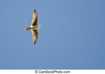 Peregrine falcon flying in a blue sky.