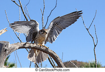 Prairie Falcon landing on a branch in the Arizona desert