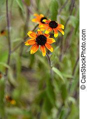 Prairie Glow Brown-Eyed Susan