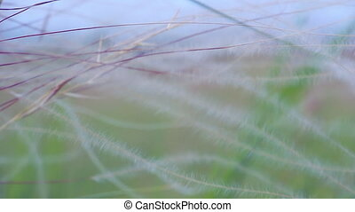 Prairie grass in the wind. Feather grass close up. Selective...