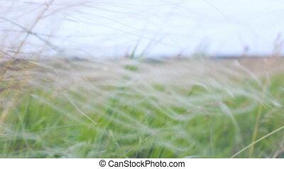Prairie grass in the wind. Feather grass
