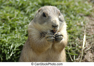prairie marmot eating lunch