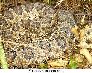 Prairie Rattlesnake - South Dakota