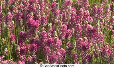 Prairie wildflowers - Purple and yellow wildflowers on the...