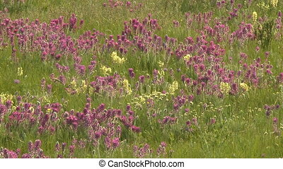 Prairie wildflowers - Purple and yellow wildflowers on the...
