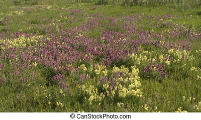 Prairie wildflowers - Wide shot of purple and white prairie...