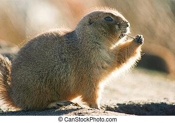 Prairiedog in winter sun