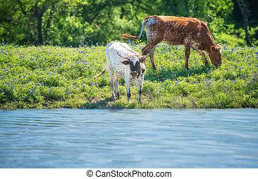 pramen, dobytek, longhorn, bluebonnet, krmivo, texas