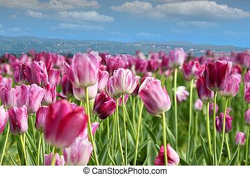 pramen, tulipán, květ