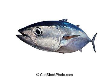 prawdziwy, fish, bluefin, odizolowany, tło, tuńczyk, biały