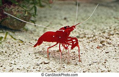 prawn - the red shrimp