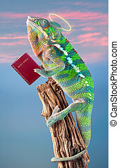 Praying Chameleon