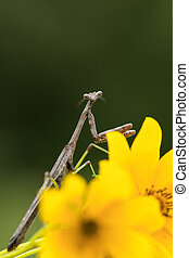 Praying mantis adult male on flower - Small brown male adult...