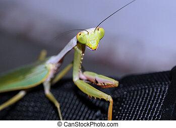 Praying Mantis Close-up, Manado, Indonesia