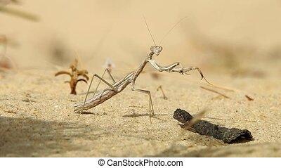 Praying Mantis In Desert
