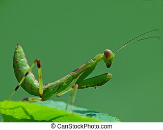 Praying Mantis in the nature