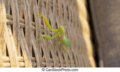 Praying mantis insect on wicker chair - Close-up shot of...