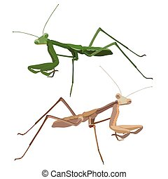Praying Mantis Isolated on white background Close-up Vector