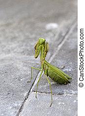Praying mantis, mantis religiosa , close up. Bali, Indonesia