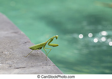 Praying mantis, mantis religiosa , close up. Island Bali, Indonesia