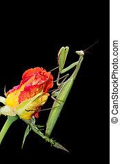Praying Mantis on a Rosebud