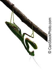 Praying mantis on a tree