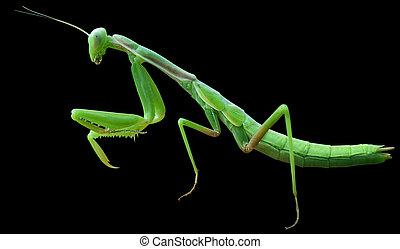 Praying Mantis on black background